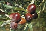 ALBERO DI ULIVO-OLEA EUROPAEA- BRUNO 'CAROLEA' CALABRESE DA OLIO- pianta da frutto da esterno
