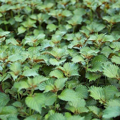 Seekay Perilla Verde - Shiso - Japonés Albahaca - Aprox 1200 Semillas