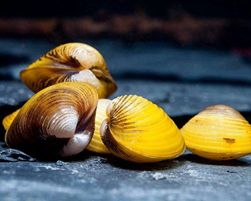 Schnecken Goldene Körbchenmuschel, 10 Stück - Aquarienmuschel/Muschel sorgt für Glasklares Aquariumwasser! Muschel