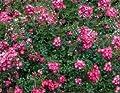 Beet- & Bodendeckerrose 'Lovely Fairy' - Rosa 'Lovely Fairy' Qualität A, 3-4 pro m von Gartengruen24 bei Du und dein Garten