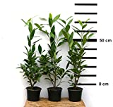 10 x Hecken-Pflanze Kirschlorbeer Caucasica 50-70 cm hoch im 2 Liter-Topf