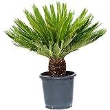 Outlet Garden - Cyca - Cyca Revoluta. Palmera Pequeña Natural, Altura: 0,70 Centimetros Aproximado, Contenedor: 30 Cm. Envios Solo Peninsula