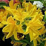 Sommergrüner Rhododendron 'Goldtopas' Hochstämmchen - Rhododendron luteum 'Goldtopas' Sth. - Hochstamm