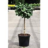 Blumen-Senf Ginkgo Baum - 70-80 cm - 12 cm Topf Ø/Ginkgo biloba - Älteste Baumart der Welt
