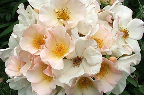 Rosarot Pflanzenversand p352