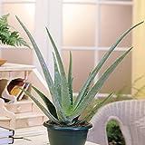 Aloé Véra 10cm - 1 plante