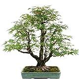 Bonsai - Acer palmatum, Japanischer Fächerahorn 189/12