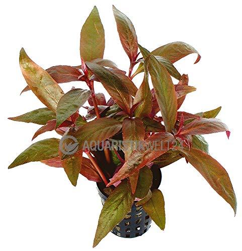 Songrow Aquarium Pflanze Alternanthera lilachina Lilablättriges Papageienblatt Wasserpflanze Aquariumpflanze