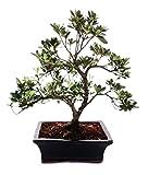 Bonsai - Rhododendron simsii - Azalee - 20cm Schale - Outdoor-Bonsai
