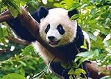 1art1 78127 Pandas - Süßer Panda Der Auf Einem AST Sitzt Fototapete Poster-Tapete 160 x 115 cm