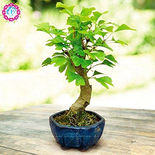 Erbstück Organic 5 PC / bag Ginkgo biloba Gingko Ginkgobaum Samen Nüsse Bonsai-Baum aus Samen Blumentopf gewachsen für Hausgarten 3