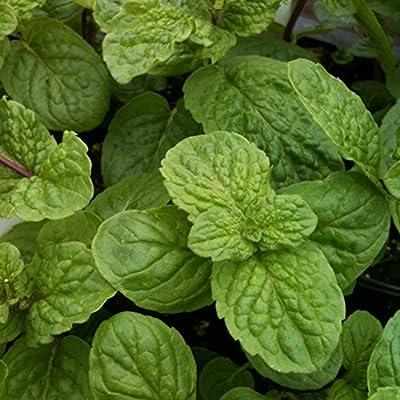 lichtnelke - Mojitominze Hemingway-Minze ( Mentha pip. spec. NEMOROSA )Tb9 von Lichtnelke Pflanzenversand - Du und dein Garten
