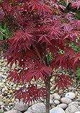 Tropica ? Japanischer Ahorn (Acer palmatum Atropurpureum)?20Samen?winter-hardy