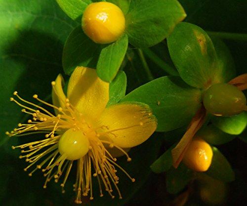hypericum-greater-st-johns-wort-packet-of-seeds