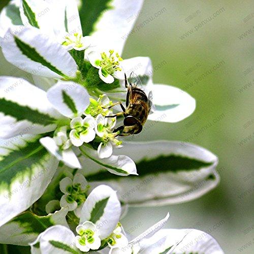 1 professional service pack (10 parti / lotto) i semi d'argento marginata in vaso semi di piante verdi fiori euphorbia marginata