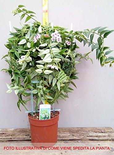 1 pianta hoya bella fiore di cera vaso 14cm perenni for Pianta di cera
