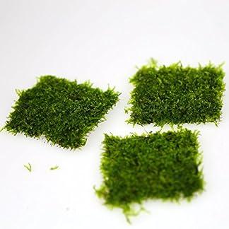 7x7cm TAIWAN Moss pad - Live aquarium fish tank plants water low light tropical **No pesticides** 12