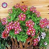 Nueva Lantana camara en maceta semillas 50Pcs / bolso flores raras para el jardín de planta las flores Bonsai Semillas de Flores del envío 4