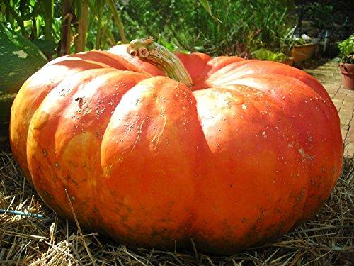 AGROBITS Aschenputtel-Kürbis 10 Samen * Rouge Vif D'Etampes * Heirloom * Nicht ohne Gentechnik * Combsh G16