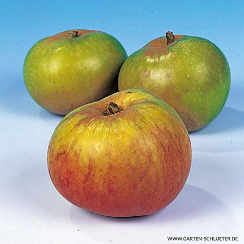 Apfel Jakob Lebel - Malus - Winterhart - Fruchtreife September bis Oktober - Liefergröße circa 120cm als wurzelnackte Pflanze