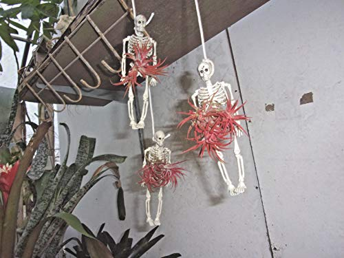 PLAT FIRM Keim Seeds: Bromelia Tillandsia 3 IONANTHIAS Airplants ON Skelett GLÃœCKLICHES Halloween