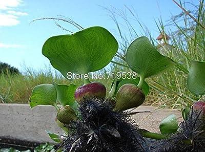 semillas de jacinto de agua, y semillas de marihuana, semillas de flores (colores mezclados) 50 semillas / pack