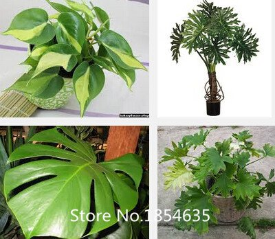 2016 New Perennial Bonsai Seed plantes graines philodendron 100pcs- Bonsaï Graines Beautifying Jardin Promotion des plantes