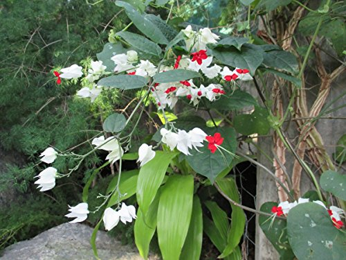 Clerodendrum thomsoniae bleeding heart vine . (English Edition)