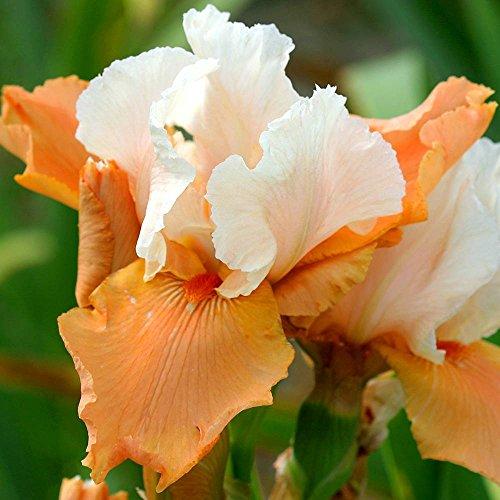 Iris Pflanzen (Schwertlilie Blazing Sunrise - 2 pflanzen)