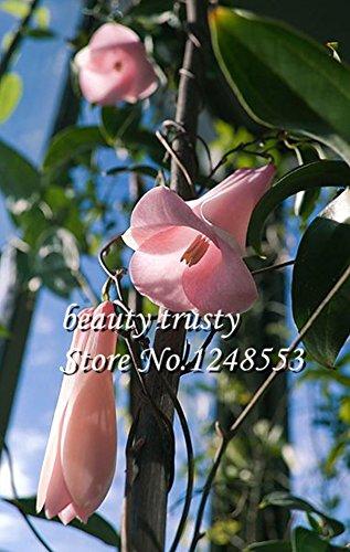 nueva-rare-50-pc-bolsa-chilena-bellflower-lapageria-rosea-las-semillas-arbol-de-hoja-perenne-durader