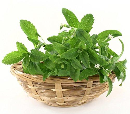 Stevia Samen - Stevia rebaudiana