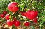 Pianta di melograno (varietà ACCO 128) - Punica Granatum