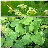 Elfenblume, Epimedium x versicolor Sulphureum, Staude im 0,5 Liter Topf