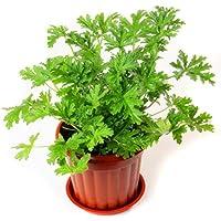 WuWxiuzhzhuo - 100 Semillas para Plantas de citronela, mozie Buster Repelente de Mosquitos para Decoración de Jardín