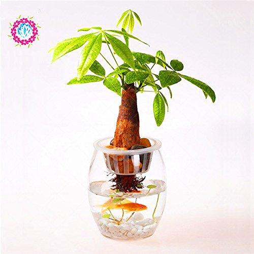 1 seed/bag pachira macrocarpa,pachira seeds,pachira aquatica,bonsai tree seeds,potted flower seeds money tree home garden plant 4 - Pachira Aquatica Bonsai