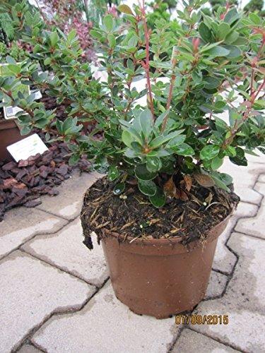 Berberis buxifolia nana – Buxusblättrige Berberitze