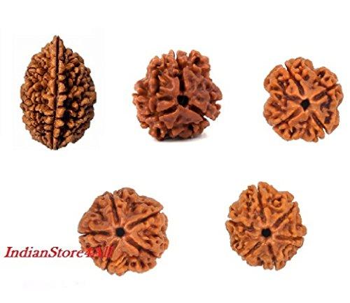 indianstore4all natur 2, 3, 4, 5, 6Mukhi Rudraksha-1Stück je Pure Rudraksha