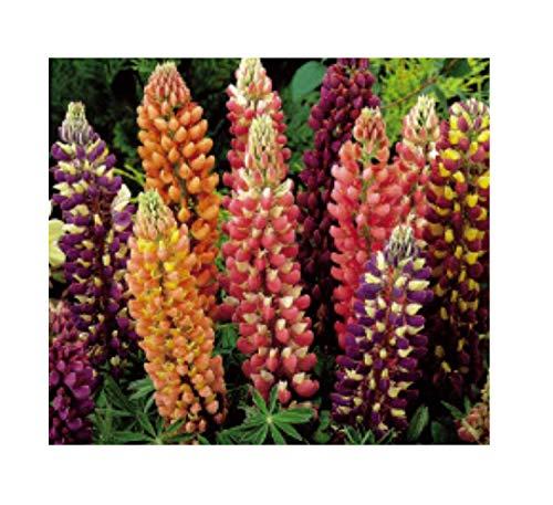 75x Lupine Russel Hybrids Mix-Samen Garten Saatgut Pflanze Blume K315