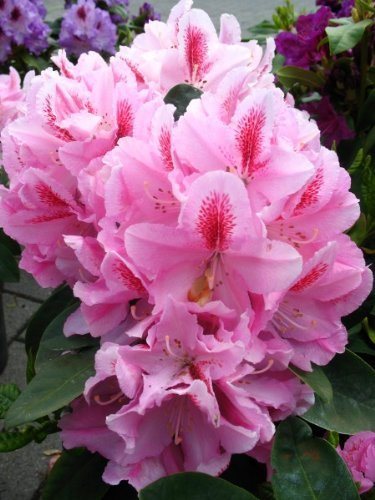 Rhododendron Furnivall's Daughter 30-40 cm hoch im 5 Liter Pflanzcontainer