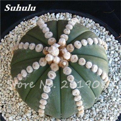 100 Pcs vrai Cactus Seeds, Mini Cactus, Figuier, japonais Succulentes Bonsai Graines de fleurs, Plante en pot pour jardin 6