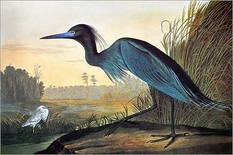 Forex-Platte 100 x 70 cm: Audubon: Little Blue Heron. von John James Audubon / Granger Collection