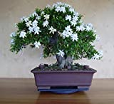 #3: Floral Treasure Jasmine Bonsai Suitable Seeds - 05 pcs