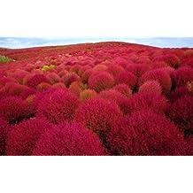 Kochia scoparia red - Cyprès d été - Kochie à balais - 100 graines