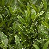 Aufrechter Kirschlorbeer 'Herbergii', 60/80 cm, 2 Pflanzen im Set, je im 7 l Topf