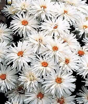 Shasta Daisy Chrysanthemum Crazy Daisy 100 Samen Blumensamen Stauden -
