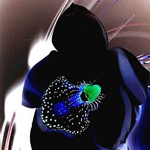 PLAT FIRM Germination Les graines: Egrow 100 PCS Rare Black Orchid Graines de fleurs exotiques Orchid jardin Bonsai