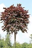Hausbaum Rotblättriger Ahorn Crimson Centry. Lieferhöhe: 150-180cm. 15 Liter Container. inkl. Pflanzstab und Sisal-Band - zu dem Artikel bekommen Sie gratis ein Paar Handschuhe für die Gartenarbeit dazu