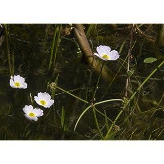 Baldellia ranunculoides (Lesser Water plaintain) - Marginal Pond Plants - Pond Plants - Water Plants-1 LTR