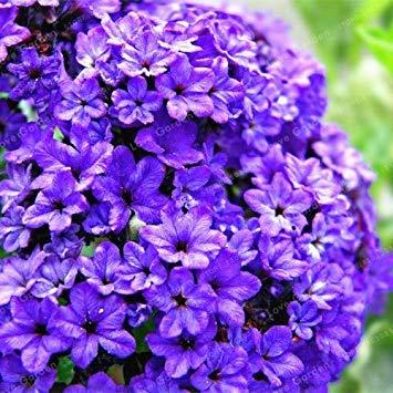 vonly Vanilleblume Pflanze chinesische Bonsai-Blumen-Anlage Hausgarten-100 Stück zu wählen: 4