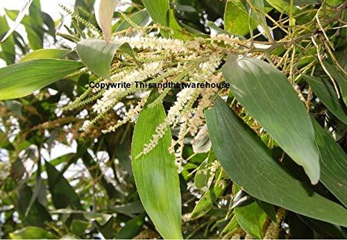 Portal Cool Acacia mangium 15 Samen Hickory Akazie Baum Container oder Standard-Garten